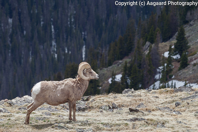 Bighorn ram, Trail Ridge Road, Rocky Mountain National Park