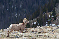 Bighorn ram, Trail Ridge Road, Rocky Mountain National Park