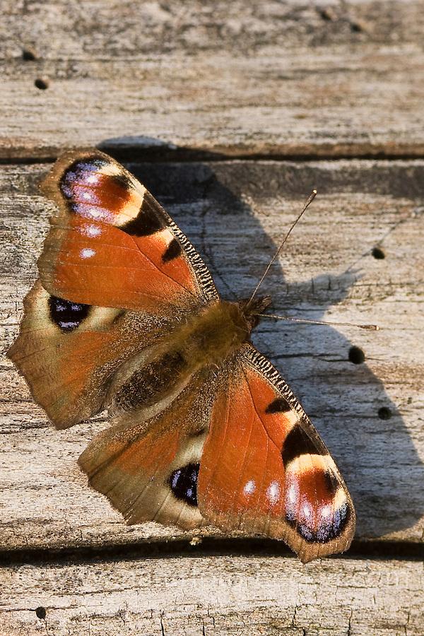 Tagpfauenauge, Tag-Pfauenauge, Aglais io, Inachis io, Nymphalis io, peacock moth, peacock
