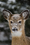 Snow-covered white-tailed fawn in northern Wisconsin