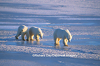 01874-01320 Polar Bears (Ursus maritimus) female with 2 cubs walking on frozen pond  Churchill  MB