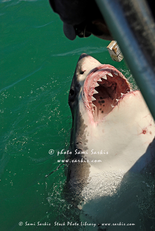 Great White Shark mouth wide open (Carcharodon carcharias), Kleinbaai, South Africa