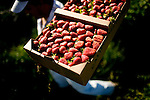 Efrain Silva carries fresh strawberries at Terra Firma Farm in Winters, CA May 5, 2010.