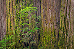 Detail of redwood tree trunks in forest, Redwood National and State Parks, Del Norte County, California
