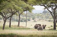 Group of African elephants (Loxodonta africana) in the savannah in Tarangire National Park, Tanzania