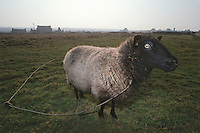 Europe/France/Bretagne/29/Finistère/Ile d'Ouessant: Fête des moutons