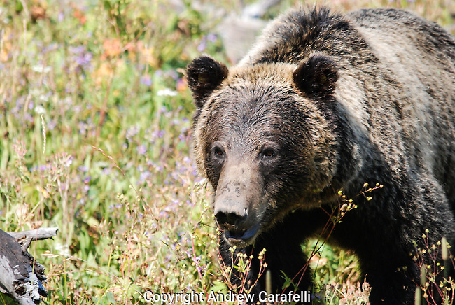 A Grizzly Bear searches for food among wild flowers in Northwest Wyoming.