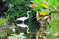 Colorful foliage surrounding an Egret at Green Cay Wetlands, Boynton Beach, Florida. Beautiful Egret Reflection in the water.