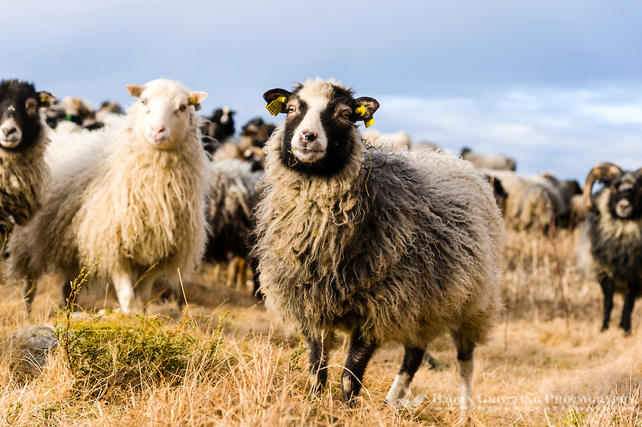 Stokksund, Norway. Domestic sheep.