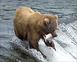 GRIZZLY BEAR.(URSUS ARCTOS).BROOKS FALLS KATMAI NATIONAL PARK AND RESERVE.ALASKA.07-03-2005.© PHOTO BY FITZROY BARRETT.
