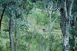 Eastern Grey Kangaroo (Macropus giganteus) female in Yellow Box (Eucalyptus melliodora) gum tree forest, Mount Taylor Nature Reserve, Canberra, Australian Capital Territory, Australia