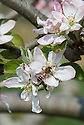 "Bee on blossom of Apple 'Saint Edmund's Pippin' (syn. 'Saint Edmund's Russet'), late April. A late 19th century English dessert apple from Bury St Edmunds. ""Picked too early, when green, hard and disappointing, but really ripe can be ambrosial, like pear flavoured vanilla ice cream"" ('The New Book of Apples' by Joan Morgan and Alison Richards)."