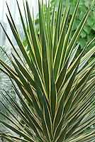 Spanish Bayonet Variegated Yucca aloifolia forma marginata