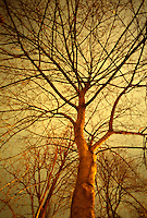 AVAILABLE FROM JEFF AS A FINE ART PRINT.<br /> <br /> AVAILABLE FROM GETTY IMAGES FOR COMMERCIAL AND EDITORIAL LICENSING.  Please go to www.gettyimages.com and search for image # 200398934-001.<br /> <br /> Upward View of a Bare Maple Tree (Acer sp.) Illuminated by City Lights on a Overcast Winter Night, Gramercy Park, Lower Manhattan, New York City, New York State, USA<br /> <br /> Original Image Photographed on 35mm transparency film.