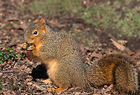 35-M02B-SF-23    FOX SQUIRREL (Sciurus niger) eating maple seed in winter, western Oregon, USA (this non-native was introduced from the eastern USA)                                           .