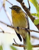 Adult male pine warbler