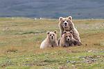 USA, Alaska, Katmai National Park, brown bear (Ursus arctos) sow and cubs