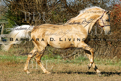G Ps Krugerrand, palomino Thoroughbred owned by Symmetry Ranch