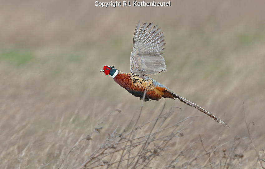 A male ring-necked pheasant flies over a field of dry grass.<br /> Skagit County, Washington State<br /> 4/8/2017