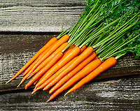 Agriculture - Fresh carrots with their tops, on a barnwood surface, in studio.