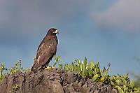 Galapagos hawk, Punto Suarez, Espanola Island, Galapagos Islands, Ecuador.