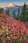 Mount Baker-Snoqualmie National Forest, WA:  A huckleberry bush in fall color with sunrise light on Mount Baker from Artists Ridge Trail.