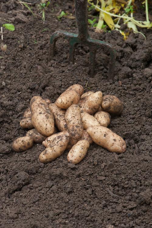 Potato 'Anya', mid July.