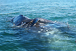 MOTHER GRAY WHALE and BABY