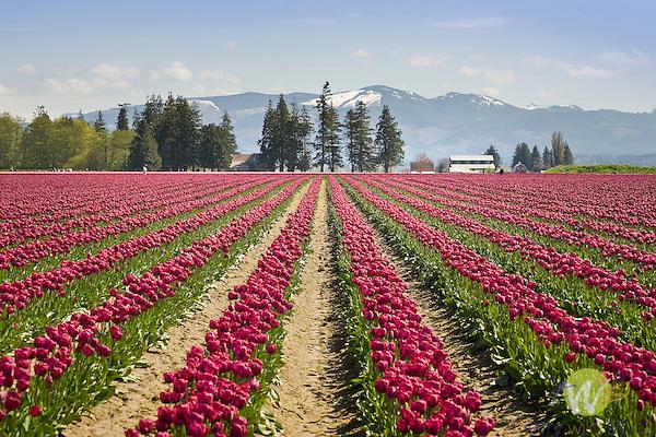 Roozengaarde Tulip Bulb farm, Mount Vernon, WA.