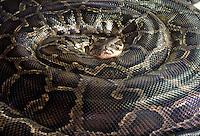 Indian Rock Python (Python molorus bivittatus)