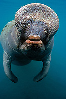 Florida manatee, Trichechus manatus latirostris, a subspecies of West Indian manatee, Trichechus manatus, Homosassa Springs, Homosassa River, Florida, USA