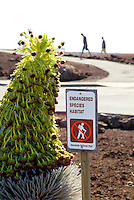 A close-up of an endangered silversword plant in bloom, which is indigenous only to Haleakala on the island of Maui. Two people walk on the trail in the background.
