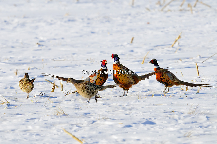 00890-038.19 Ring-necked Pheasant: Three roosters and two hens are feeding in snow covered corn stubble field.  Hunt, food, survive.