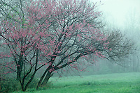 Spring redbud trees bloom on rainy day through the morning fog and mist