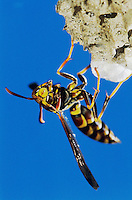 Paper Wasp, Polistes sp., adult on nest, Lake Corpus Christi, Texas, USA, May 2003