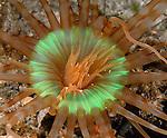 Banded tube-dwelling Anemone,  Arachnanthus nocturnus