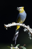 One of my favorite birds found in Costa Rica's central highlands is the Long-tailed silky flycatcher.