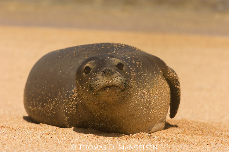 Close-up of a Hawaiian monk seal resting on the beach covered in sand in Kauai, Hawaii