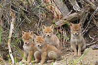 Young (wild) COYOTE pups (Canis latrans) playing near their den in a streamside bank.  Western U.S., June..