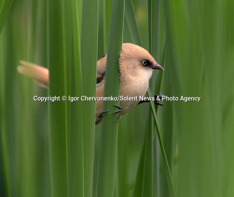 "A female bearded tit curiously peers through the leaves of reeds whilst appearing to play hide and seek. Photographer Igor Chervonenko captured the sweet interaction at Vyrlitsa lake, in the city of Kiev, Ukraine.<br /> <br /> Igor, from Ukraine said ""The bird perched on the leaves of the reeds and posed for only 3-4 seconds. In this short time, the bird appeared to hide to watch me.""<br /> <br /> The 57 year-old photography teacher said ""Often you need to spend a great amount of the time waiting for the birds to appear, which can be anywhere from half an hour to an hour or more"" <br /> <br /> ""I was surprised at the curiosity of the bird, it was in the most spectacular position sat on the reeds."" <br /> <br /> Please byline: Igor Chervonenko/Solent News<br /> <br /> © Igor Chervonenko/Solent News & Photo Agency<br /> UK +44 (0) 2380 458800"