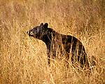 Black Bear, Santa Margarita, California