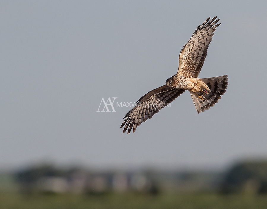 Market Lake once again provided some nice harrier close-ups.