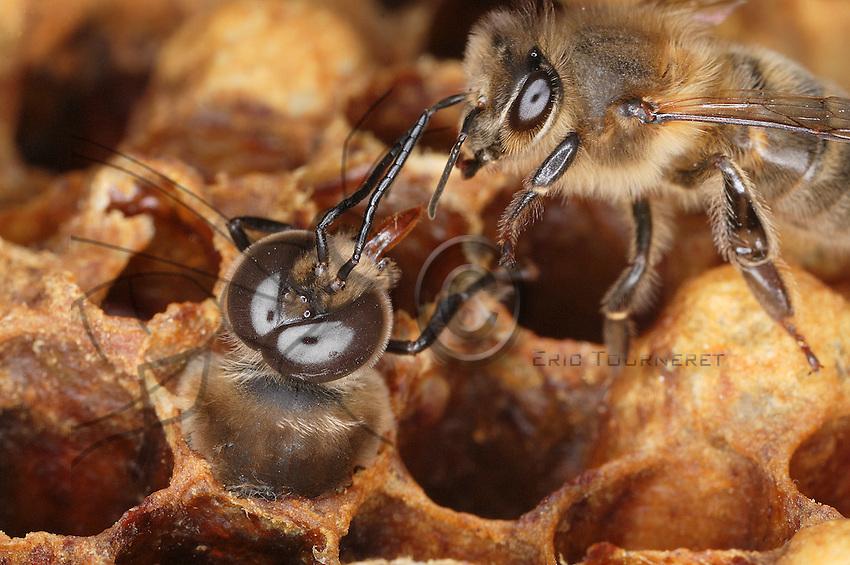Une abeille accueille un faux-bourdon en train de naître. Elle va nourrir par un échange buccal le nouveau-né exténué par sa lutte pour s'extraire de sa cellule de cire hypertrophiée. La langue du faux-bourdon est légèrement plus courte que celle de l'abeille. On distingue nettement la différence de taille des yeux à facettes de l'abeille et du faux-bourdon. L'ouvrière possède 4500 facettes par oeil tandis que le faux-bourdon, dont il est primordial qu'il repère une reine à grande distance, en possède 7500.