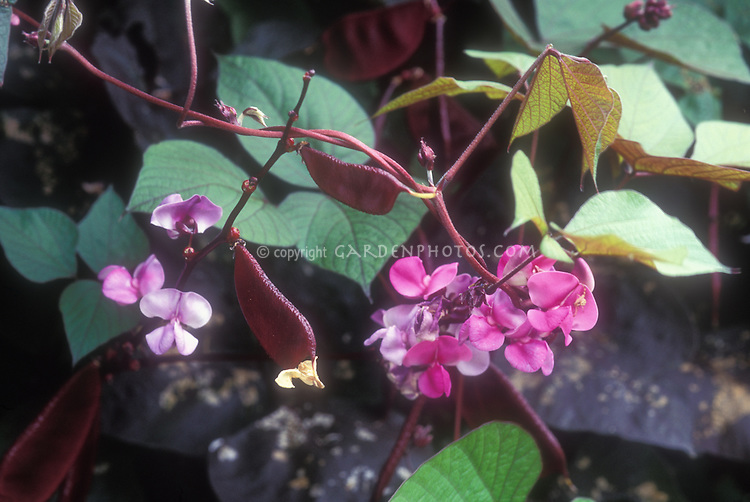 Dolichos lablab, Hyacinth Bean vine, flowers and bean pods, climber annual plant aka Lablab purpureus, commonly known as hyacinthbean, lablab-bean bonavist bean/pea, dolichos bean, seim bean, lablab bean, Egyptian kidney bean, Indian bean