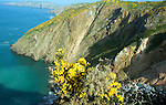 Cliffs with yellow flowers of common gorse bush, Island of Sark, Channel Islands, Great Britain