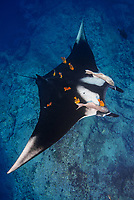 A Giant Manta, Manta birostris, hovers while being cleaned by Clarion Angelfish, Holacanthus clarionensis. Cabo Pierce, Socorro Island, Revillagigedos, Mexico, Pacific Ocean