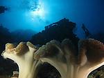 Blue Corner, Palau -- Soft coral on a sea wall against the sun.