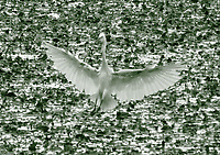 Near Lugnano in Teverina, in the WWF oasis of Alviano, that makes part of a meander of the Tiber river, one can see a number of beautiful birds in the fall. Here an egret that is touching down onto the water surface, with open wings. Its elegant white coloured figure stands out against the background of the typical vegetation that covers the surface itself. This is a monochromatic enlargement of the original photo. Digitally Improved Photo.