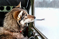 Dropped dogs look out the window of Wes Erb's plane as they prepare for a flight back to McGrath at the ghost-town checkpoint of Iditarod on Saturday, March 10th during the 2018 Iditarod Sled Dog Race -- Alaska<br /> <br /> Photo by Jeff Schultz/SchultzPhoto.com  (C) 2018  ALL RIGHTS RESERVED
