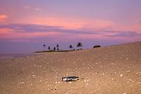 Australian flatback sea turtle hatchling, Natator depressus (c-r), endemic to Australian continental shelf, crawls down nesting beach to ocean at sunset, Torres Strait, Queensland, Australia